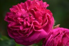 Różowe peonie na zielonym tle Obraz Royalty Free
