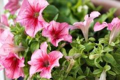 Różowe petunie Zdjęcie Royalty Free