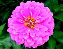 różowe puszce Zdjęcia Stock