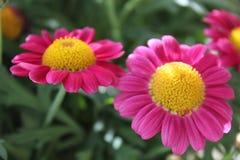 Różowe stokrotki Zdjęcia Royalty Free