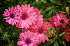 Różowe stokrotki Zdjęcia Stock