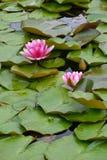 różowe waterlilies Zdjęcia Royalty Free