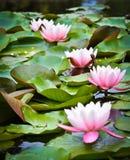 Różowe wodne leluje zdjęcia royalty free