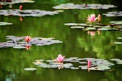 Różowe wodne leluje w stawie Obrazy Stock