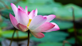Różowego kwiatu lotosowy kwiat w wodnego stawu ogródu dekoraci (Lotus u Obraz Royalty Free
