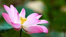 Różowego kwiatu lotosowy kwiat w wodnego stawu ogródu dekoraci (Lotus u Zdjęcia Royalty Free