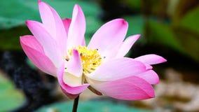 Różowego kwiatu lotosowy kwiat w wodnego stawu ogródu dekoraci (Lotus u Obrazy Royalty Free