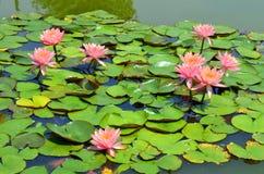 Różowego kwiatu Lotosowy kwitnienie w stawie Zdjęcia Stock
