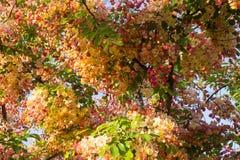 Różowej prysznic drzewo Fotografia Royalty Free