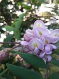 Różowi akacja kwiaty Zdjęcia Stock