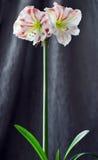 Różowi amarilis Zdjęcia Royalty Free