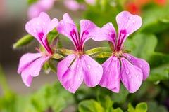 Różowi bodziszków kwiaty Obrazy Royalty Free