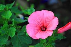 Różowi bodziszki na ciemnozielonym tle Fotografia Stock