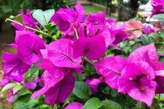 Różowi Bougainvilleas lub Papierowy kwiat Zdjęcia Stock