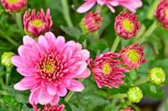 Różowi chryzantemy fotografia royalty free