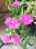 Różowi Dianthus kwiaty obraz royalty free