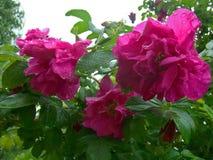 Różowi dogrose kwiaty Obraz Stock