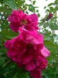 Różowi dogrose kwiaty Fotografia Stock