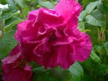 Różowi dogrose kwiaty Obraz Royalty Free