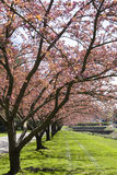 różowi drzewa Fotografia Royalty Free