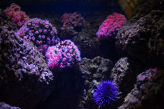 Różowi dysków anemony i denni czesacy Fotografia Stock