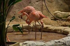 Różowi flamingi stoi wpólnie w stawie zdjęcie royalty free