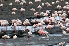 Różowi flamingi w Empakai jeziorze, Wielki rift valley, Tanzania, Wschodni Afryka Obraz Stock