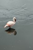 Różowi flamingi w Empakai jeziorze, Wielki rift valley, Tanzania, Wschodni Afryka Zdjęcie Royalty Free