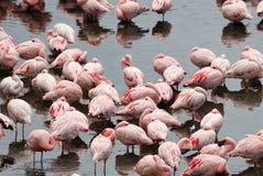 Różowi flamingi w Empakai jeziorze, Wielki rift valley, Tanzania, Wschodni Afryka Obraz Royalty Free
