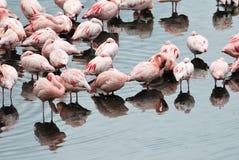 Różowi flamingi w Empakai jeziorze, Wielki rift valley, Tanzania, Wschodni Afryka Fotografia Stock
