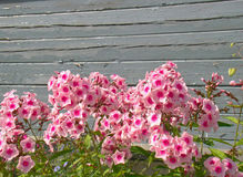 Różowi floksy Obrazy Stock