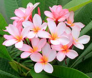 Różowi frangipani kwiaty (plumeria) Zdjęcie Stock