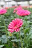 Różowi Gerberas w ogródzie Obrazy Stock