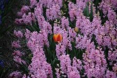 Różowi hiacynty z astrayed tulipanem w polu w terenie Lisse blisko do Keuk Obraz Royalty Free