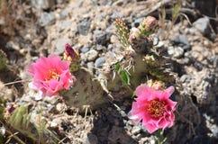 Różowi kaktusów kwiaty Zdjęcia Stock