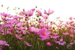 Różowi kosmosów kwiaty Fotografia Stock