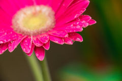 różowi kwiatów raindrops Obraz Royalty Free