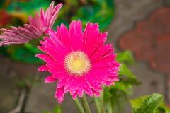 różowi kwiatów raindrops Zdjęcia Royalty Free