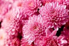 Różowi kwiaty Obraz Stock
