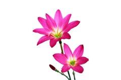 Różowi kwiaty Zdjęcia Royalty Free