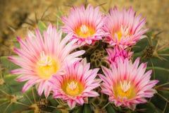 Różowi kwiaty kaktus Fotografia Royalty Free