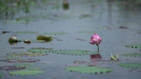 Różowi lotuses w delikatnym wiatrze zbiory wideo