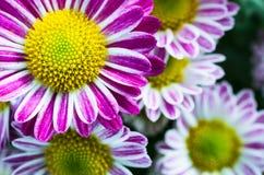 Różowi mums kwiaty kwitnie w ogródzie Fotografia Royalty Free