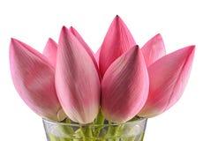 Różowi Nelumbo nucifera kwiaty Zdjęcia Royalty Free