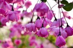 Różowi obwieszenie kwiaty Fotografia Stock