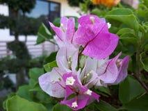 Różowi papierowi kwiaty obrazy stock