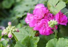 Różowi pelargonium kwiaty Fotografia Stock