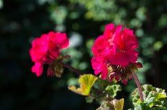 Różowi pelargoniums Zdjęcia Royalty Free