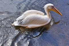 Różowi pelikana Obraz Royalty Free