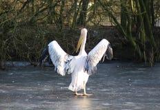 Różowi pelikana zdjęcia royalty free